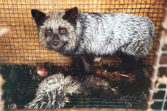 China fur trade exposed in 60 Seconds